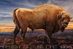 Bison Evening