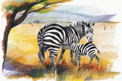 ill zebra m unge